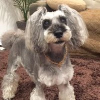 ■メグさん(9歳♀ミニチュアシュナウザー) 犬用迷子札 製作例