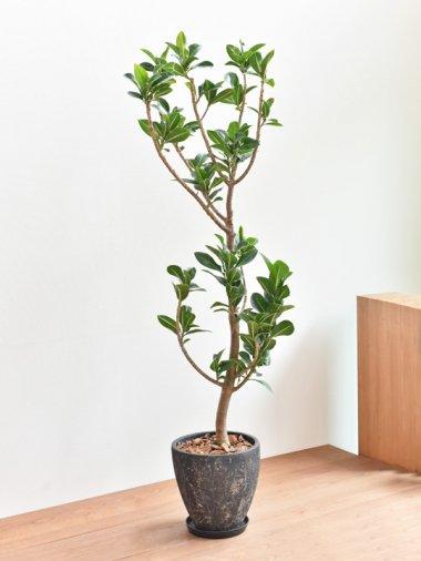 アポロゴムの木