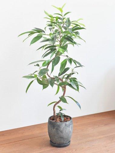 ショウナンゴムの木