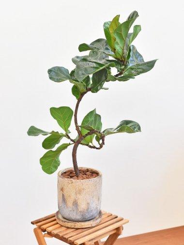 カシワバゴムの木・バンビーノ