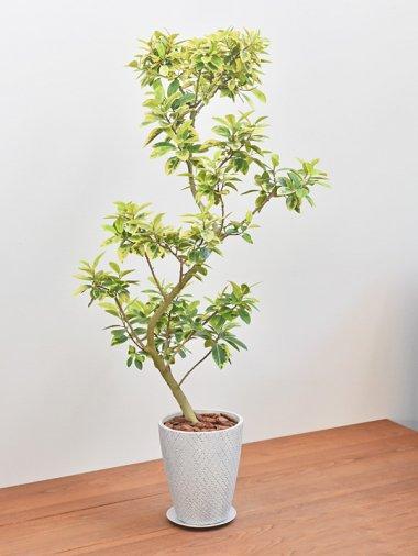 フランスゴムの木・ユキ