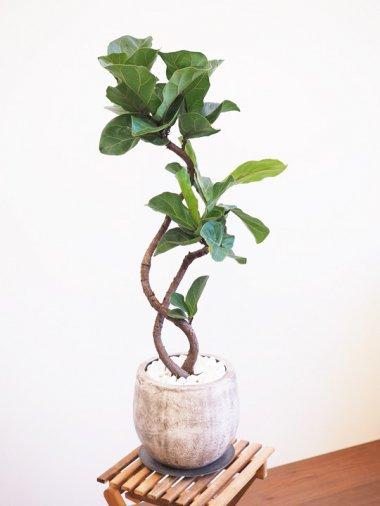 カシワバゴムの木