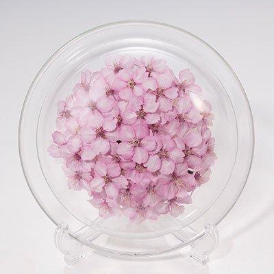 桜のボトルフラワー皿型M(河津桜)