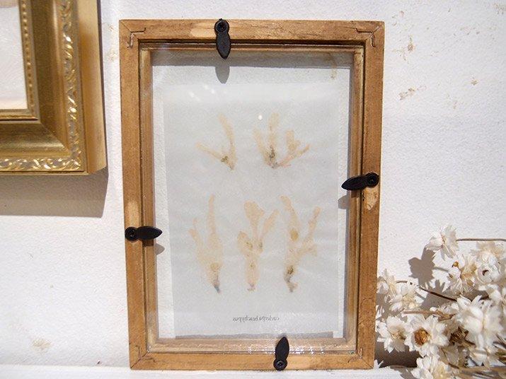 fillyjonk フィリフヨンカ 海藻標本「ヘライワヅタ」