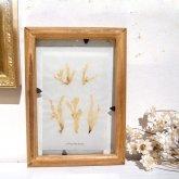 fillyjonk フィリフヨンカ 海藻標本「ヘライワヅタ」 稲村ケ崎